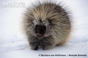 North-American-porcupine-in-snow